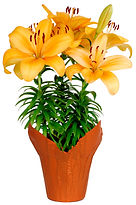 6in Orange Lily - kraft cover-.jpg