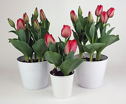 Tulips in tins.jpg