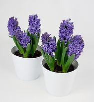 Hyacinth 6in tin.jpg