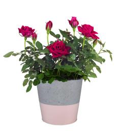 6in Spring Rose1.jpg