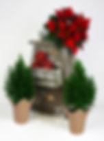 Poinsettia Elwoodii kraft.jpg