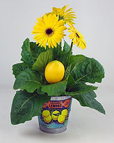 4IN Gerbera Lemon label tin and pick.jpg