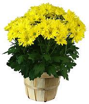 6in Yellow Mum-bushal basket.jpg