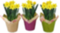 6in Daffodil - PCS-Group-3--.jpg
