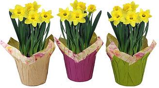 6in Daffodil - PCS-Group-3--.jpg