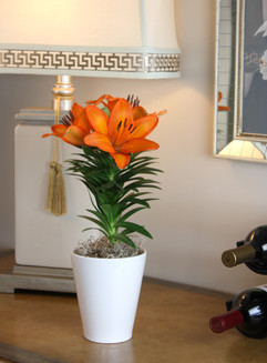 Asiatic Lily.jpg