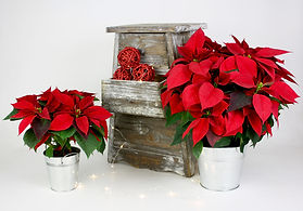 4in 6in Poinsettia in Tin.jpg