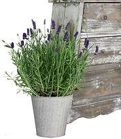 4in  Lavender , Tin-1.jpg