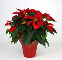 6in Poinsettia in PCX.jpg