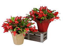 6in Red Zygocactus PCX-2 -1.jpg