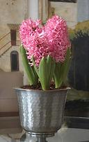 HyacinthA.jpg