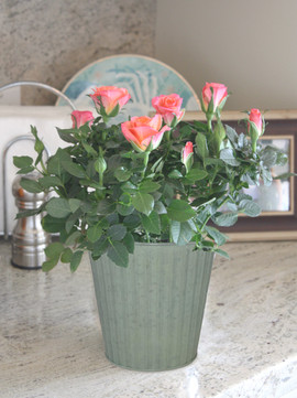 Mini Rose Seaside tin.jpg