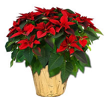 10in Poinsettia-PC-1 .jpg