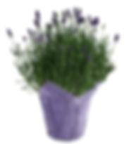 4in Lavender,PCL.jpg