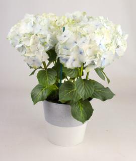 6in Hydrangea in white urban tin.jpg
