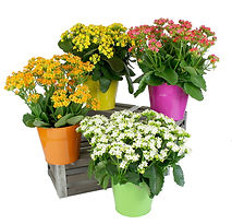 6in Kalanchoe in Tin-.jpg