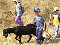 Goat herding for kids in Israel