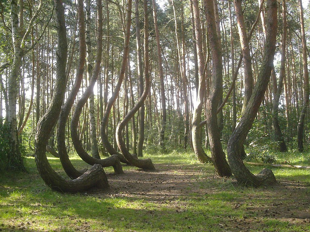crooked forest tordue en Pologne