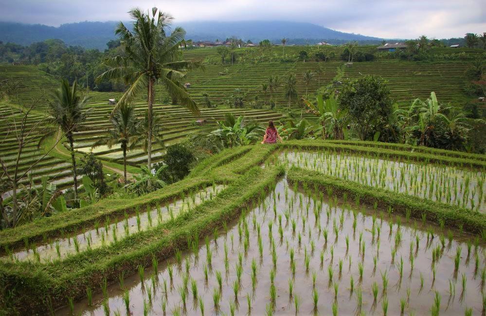 Les plus belles rizières d'Ubud