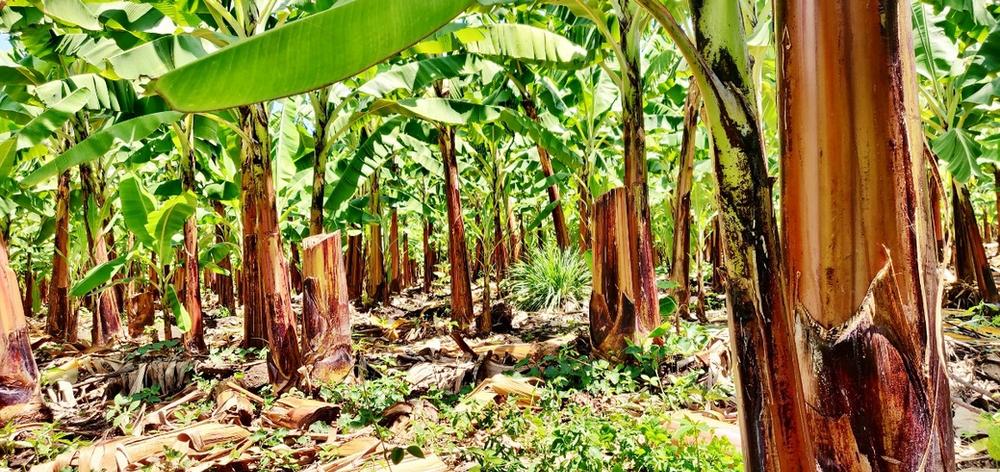 plantations de bananes de Mto Wa Mbu