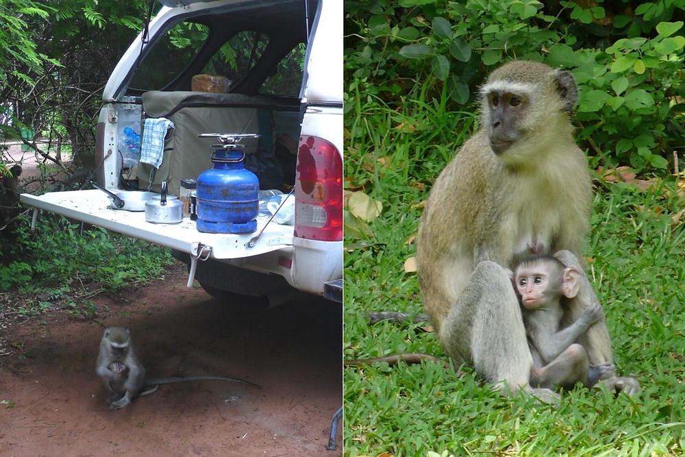 shakawe namibie babouins
