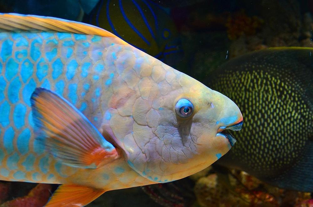 Raja Ampat poisson perroquet