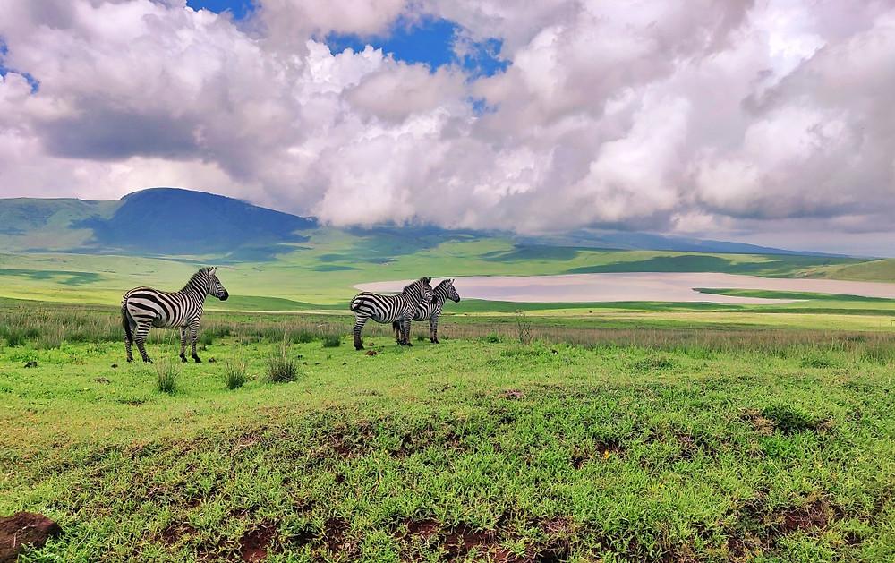 safari zone protégée ngorongoro zèbres