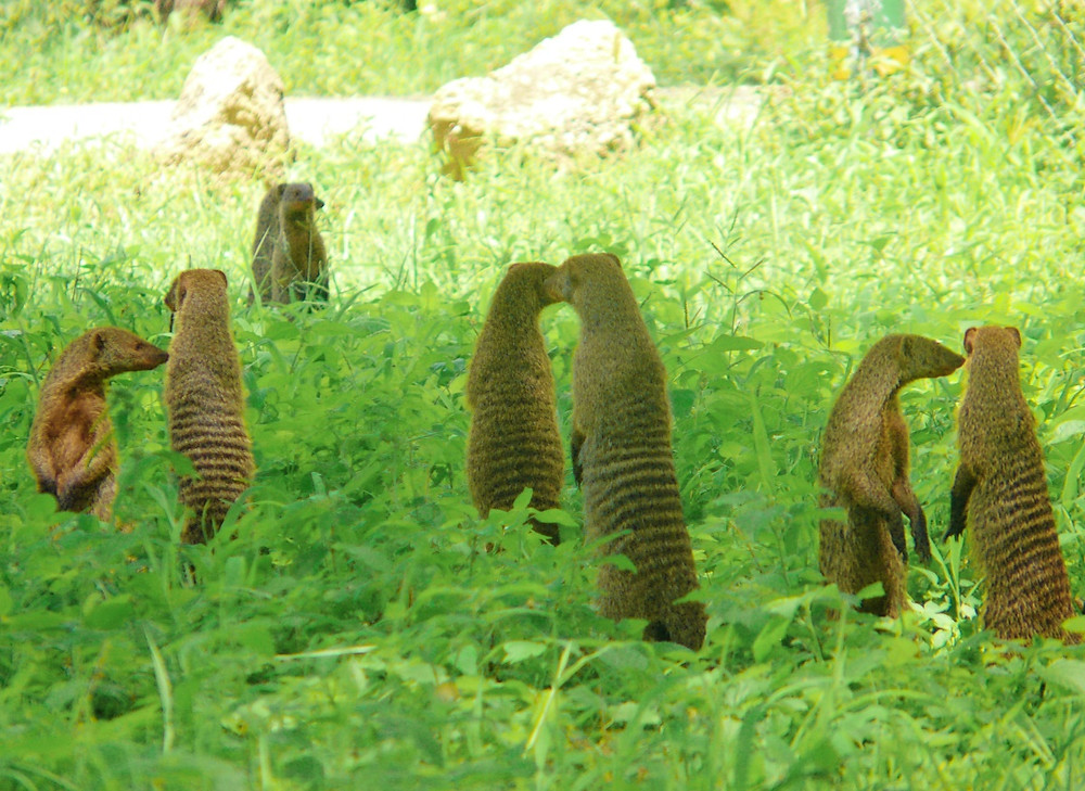 mangoustes tarangire