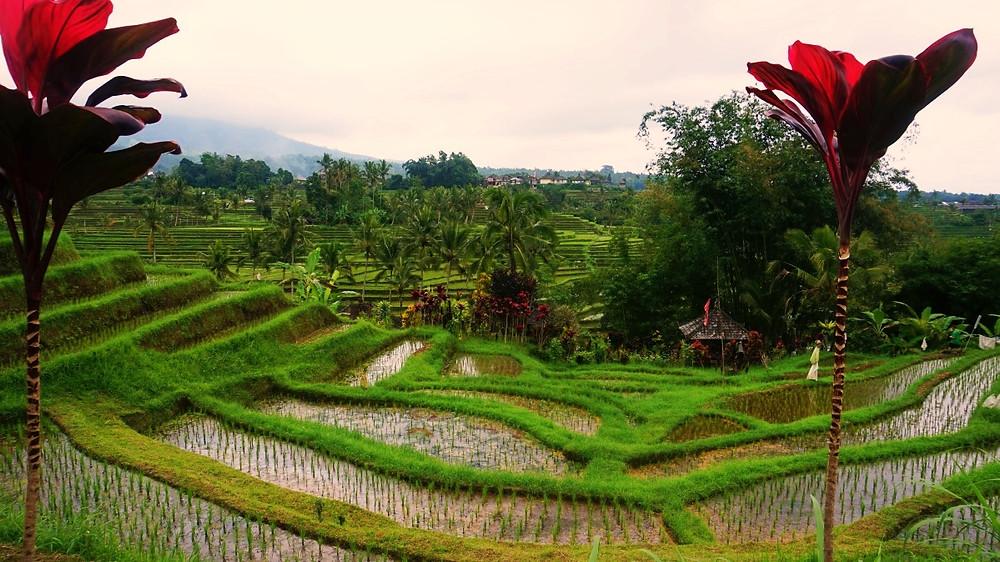 rizière jatiluwih paysan
