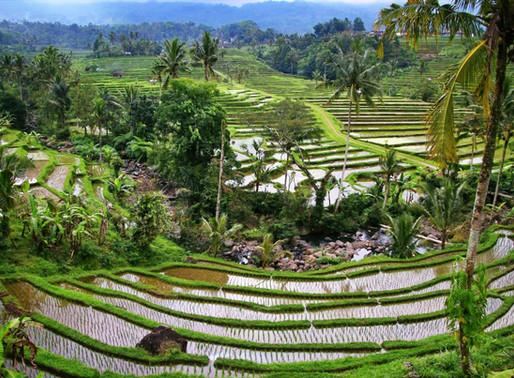 Les rizières de Jatiluwih à Bali en Indonésie