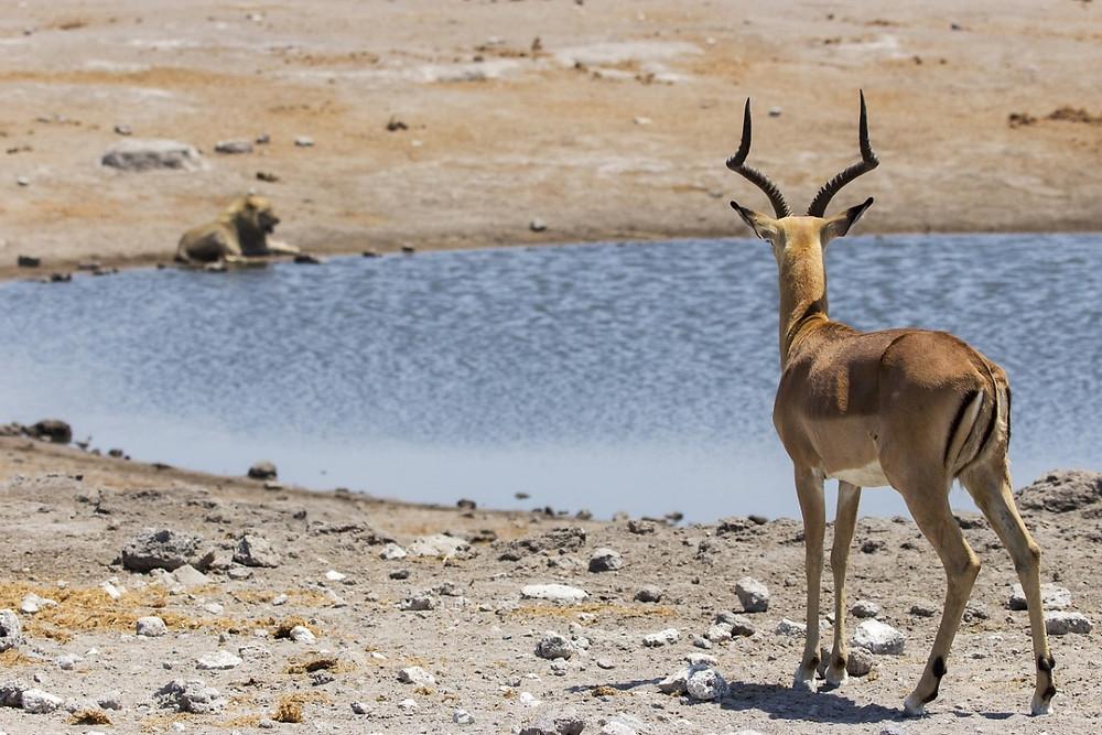 Springbok etosha namibie