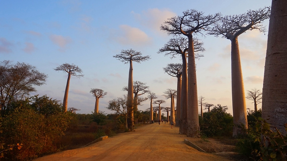 arbres allée des baobabs Madagascar