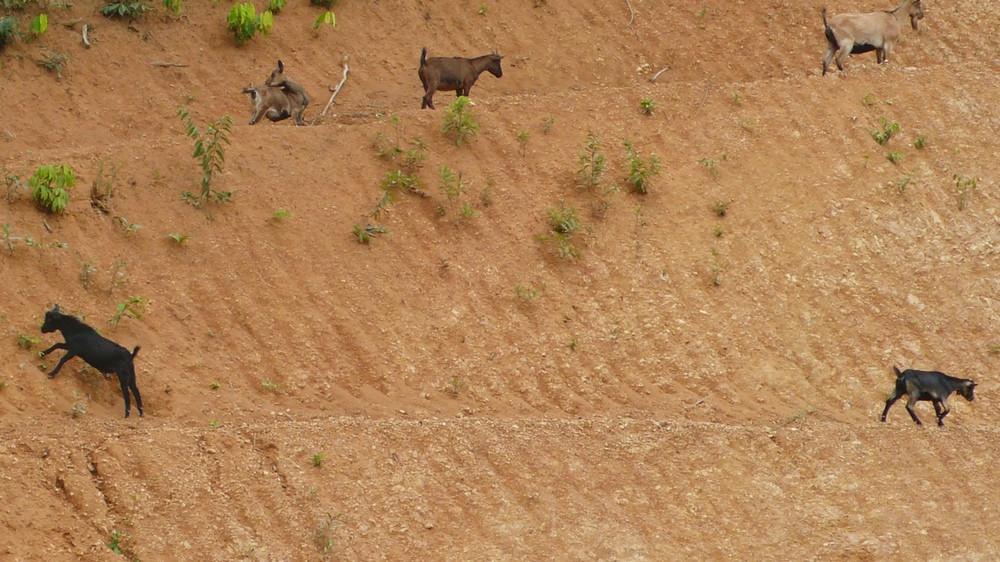 laos chèvres