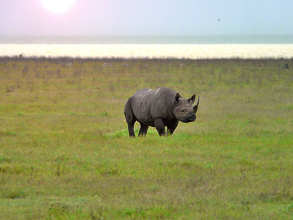 rhinocéros ngorongoro