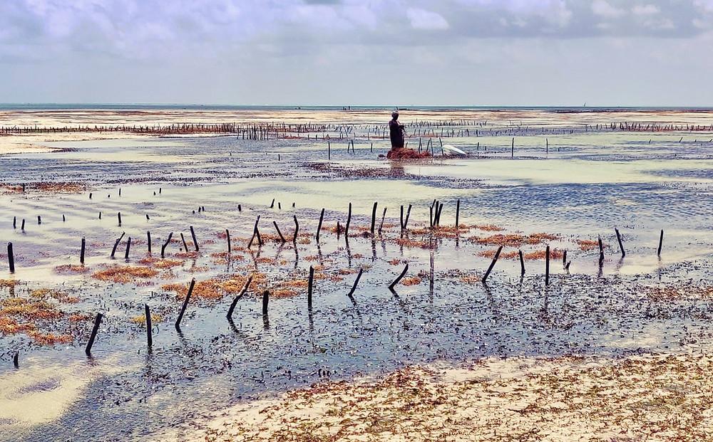 ramasseuses d'algues de Jambiani