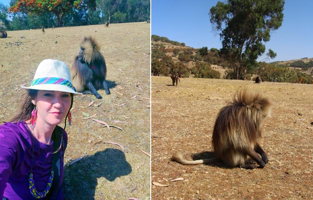 touriste singe gelada simien