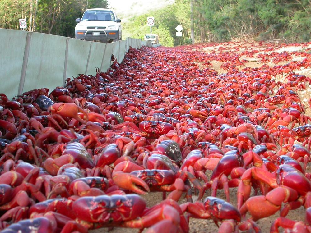 La Migration des crabes rouges sur l'Île Christmas en Australie