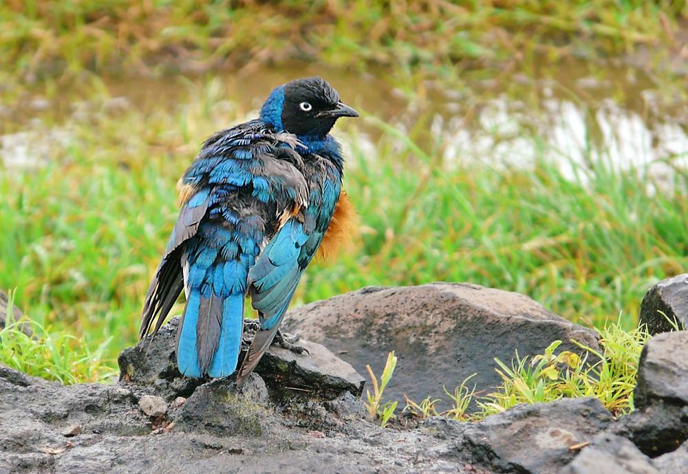 Oiseaux Ngorongoro