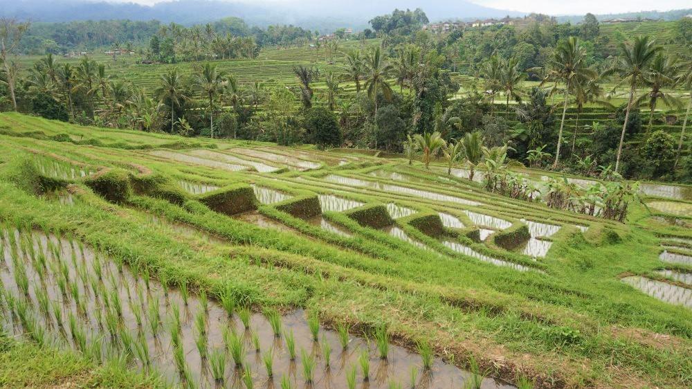 Rizières en terrasse Jatiluwih à Bali
