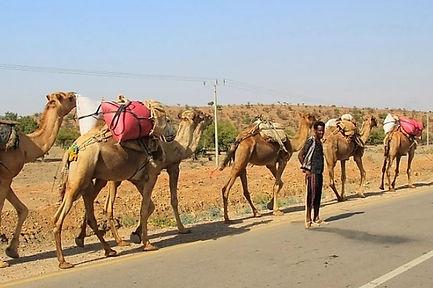Voyag Ethiopie dromadaires.jpg