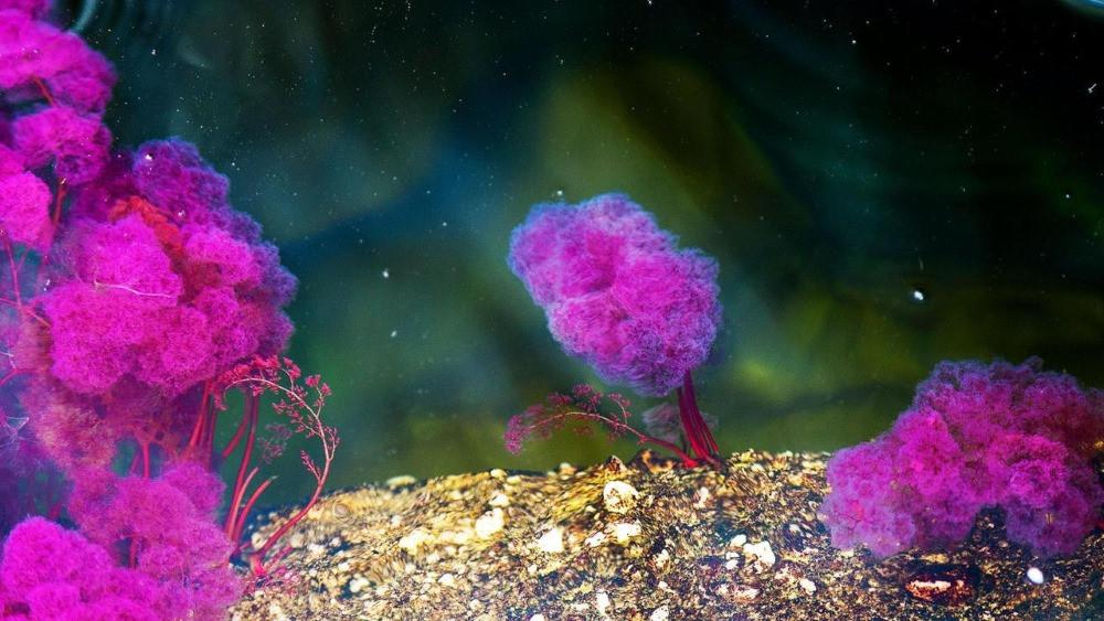 algue cano cristales macarenia clavigera