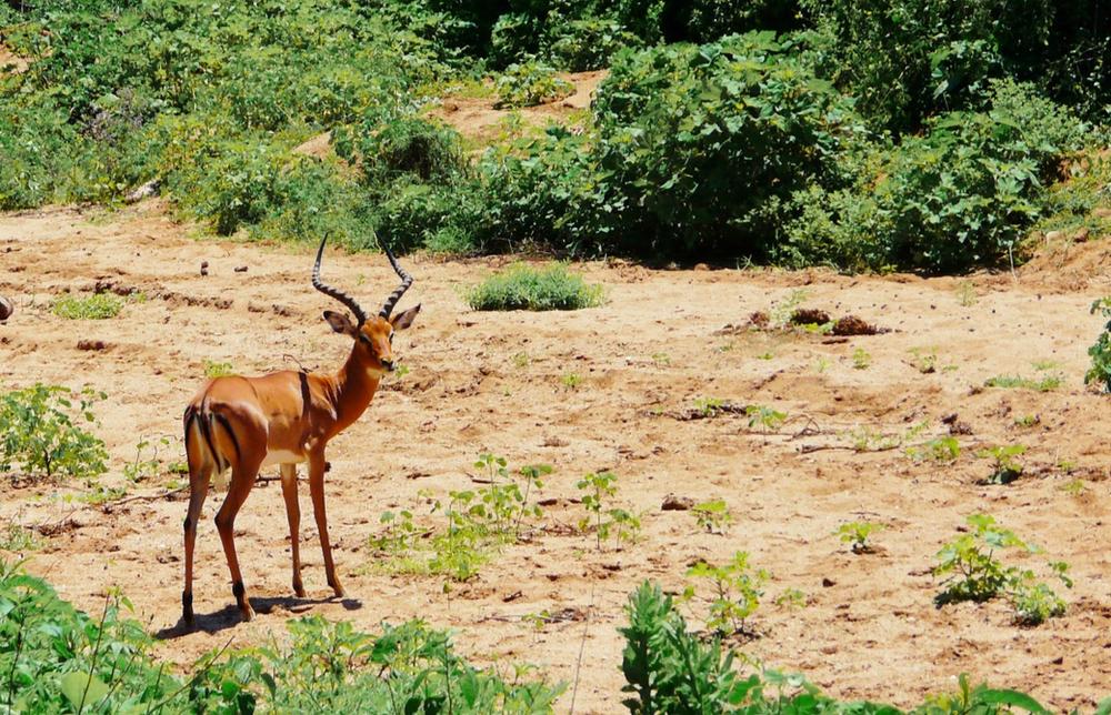 impala parc du lac manyara