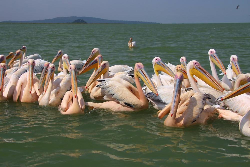 lac tana éthiopie pélicans