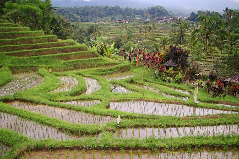 Paysage Rizière Jatiluwih Bali