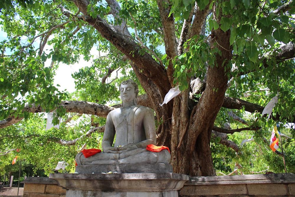 Anuradhapura arbre bouddha