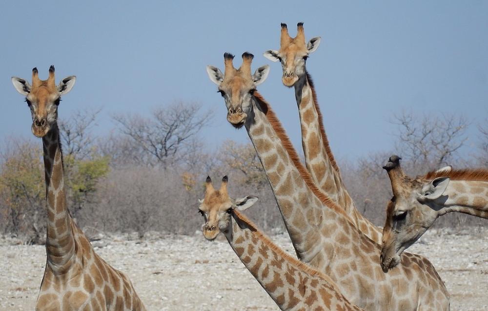 Girafes etosha