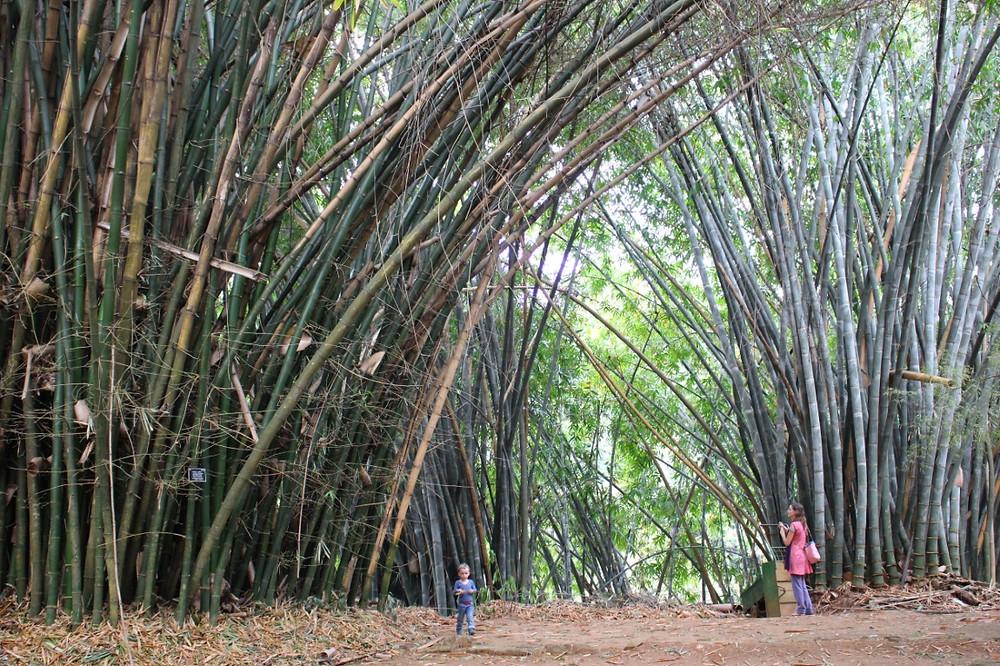 Bambous géants Jardin Botanique Kandy Sri Lanka