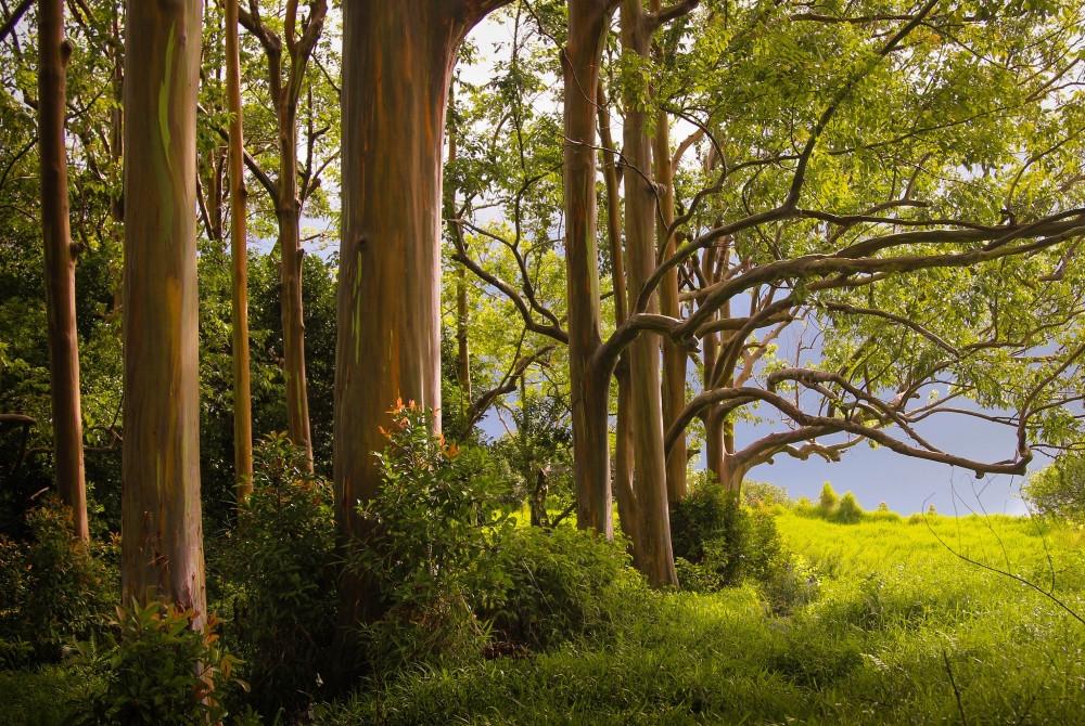 forêt eucalyptus Arc en Ciel, Deglupta