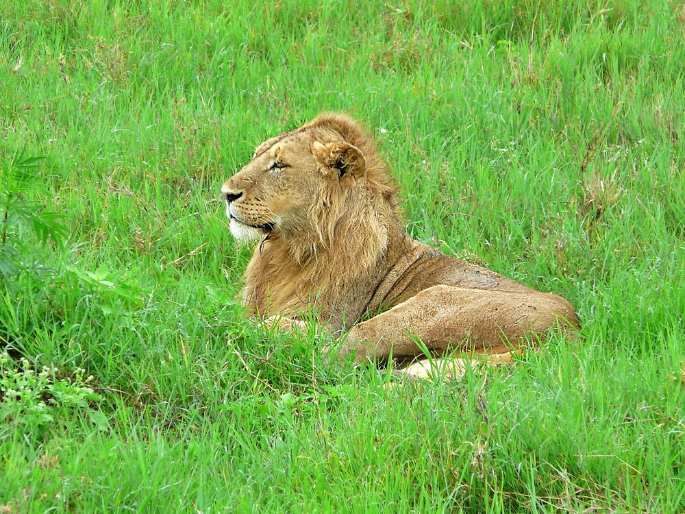 Lion Cratère Ngorongoro