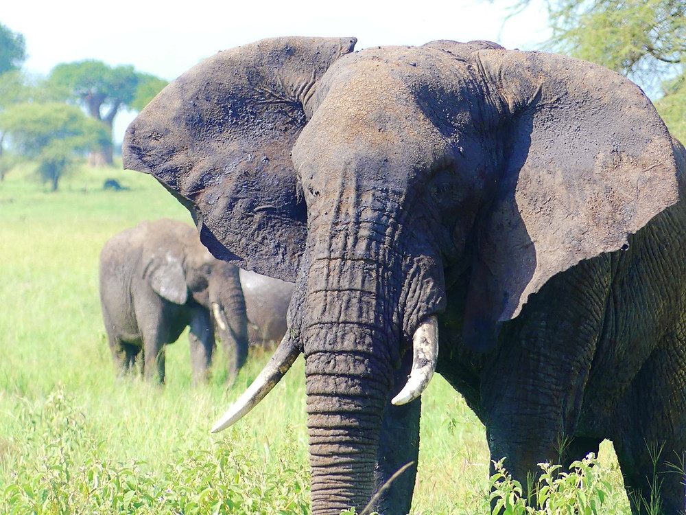 éléphants parc tarangire
